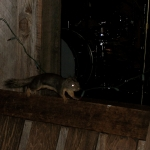 Bear Creek Studio - Squirrel