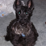 Lil - The Scottish Terrier